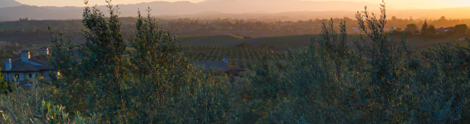 Sunset in Olive Orchard, Santa Ynez Valley, California