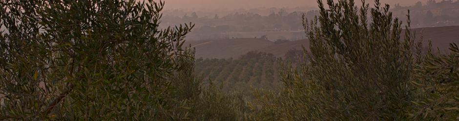 Olive Orchard, Santa Ynez, California