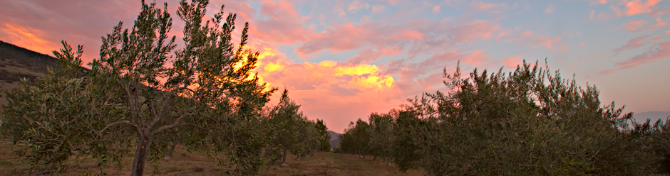 Sunset over Olive Orchard in Santa Ynez Valley, California