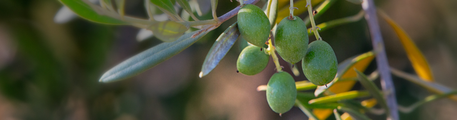 Olives in Santa Ynez Valley olive orchard