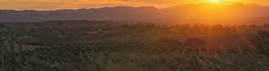 Sunset over California Olive Orchard