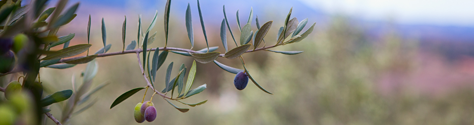 Beautiful Olives in Orchard, Santa Ynez, California